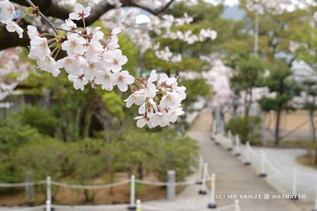 nagasakisakura4.jpg
