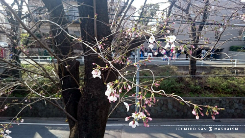 sakurazaka2017_22.jpg